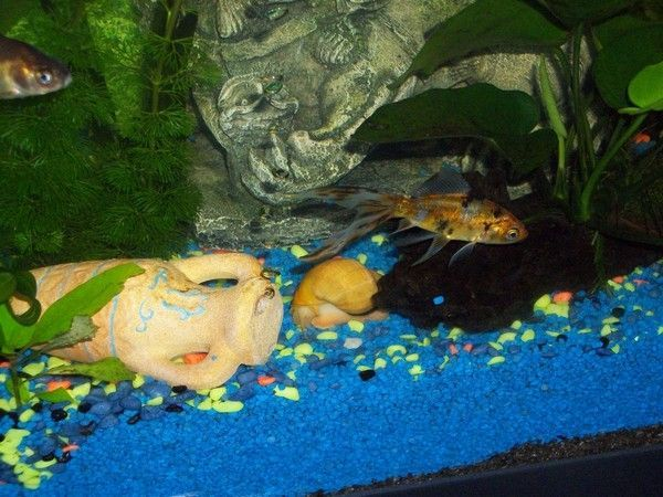 Mes aquariums for L alimentation du poisson rouge