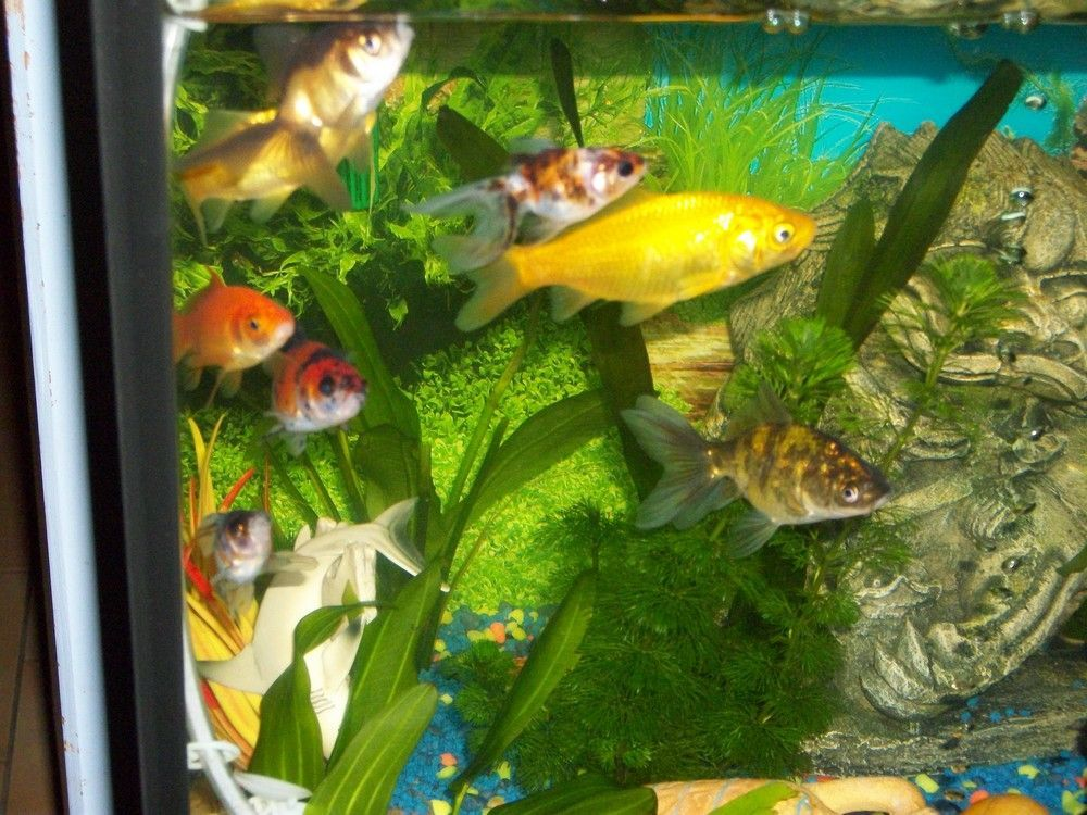 Mes aquariums for Quand changer eau aquarium poisson rouge